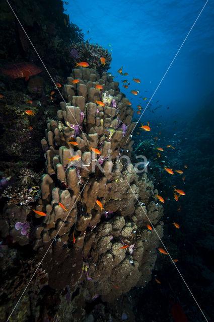 Dome Coral (Porites Nodifera)