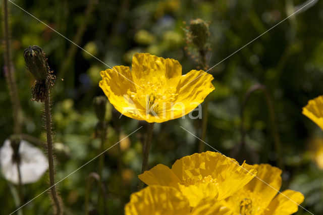 Alpenanemoon (Papaver rhaeticum)