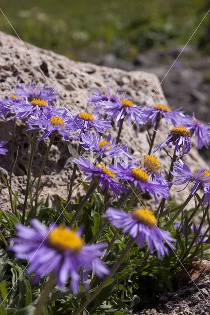 Alpenaster (Aster alpinus)
