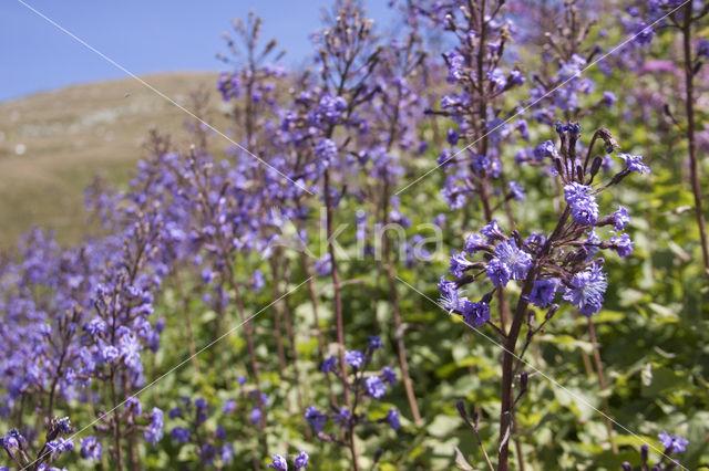 Alpensla (Cicerbita alpina)