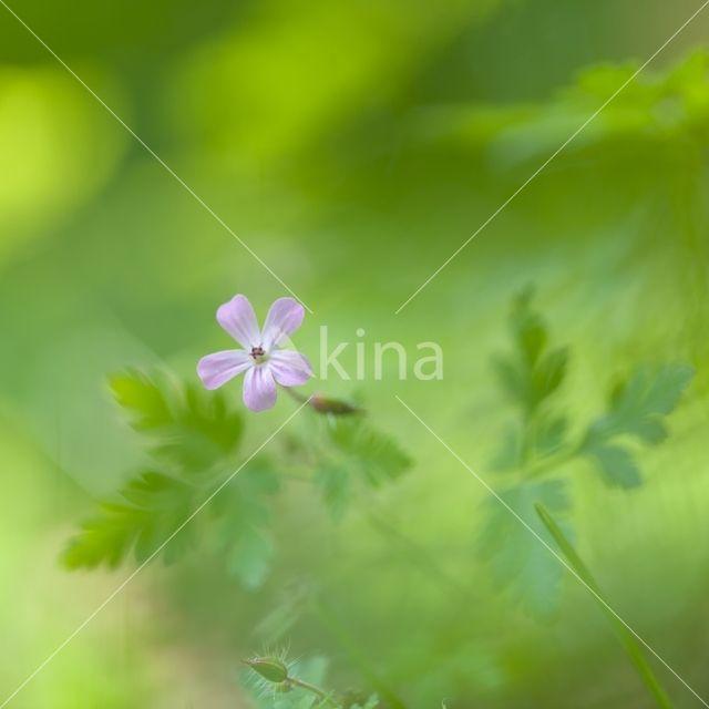 Robertskruid (Geranium robertianum)