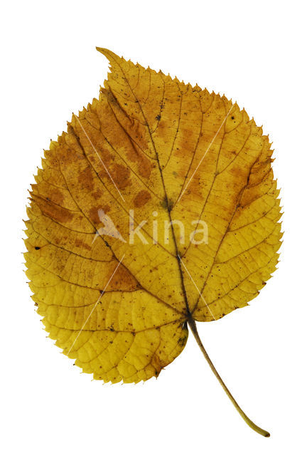 Amerikaanse linde (Tilia americana)