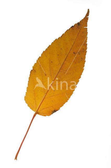 Chinese esdoorn (Acer davidii)