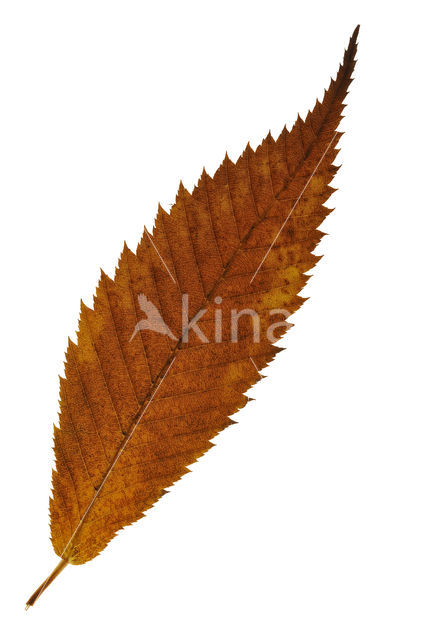 Haagbeukbladige esdoorn (Acer carpinifolium)