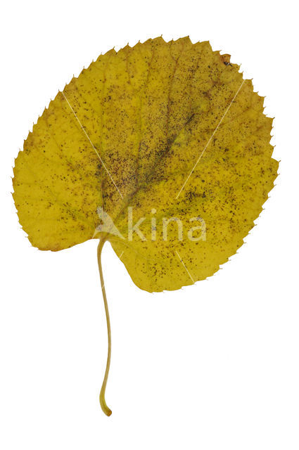 Hollandse linde (Tilia x vulgaris)