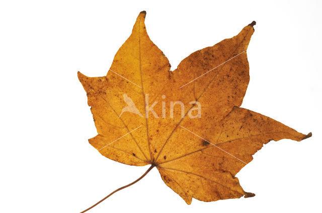 Kleurenesdoorn (Acer mono)
