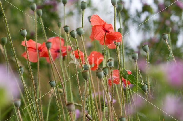 Poppy (Papaver spec.)