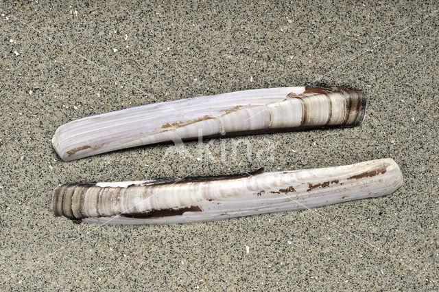 Grote zwaardschede (Ensis arcuatus)