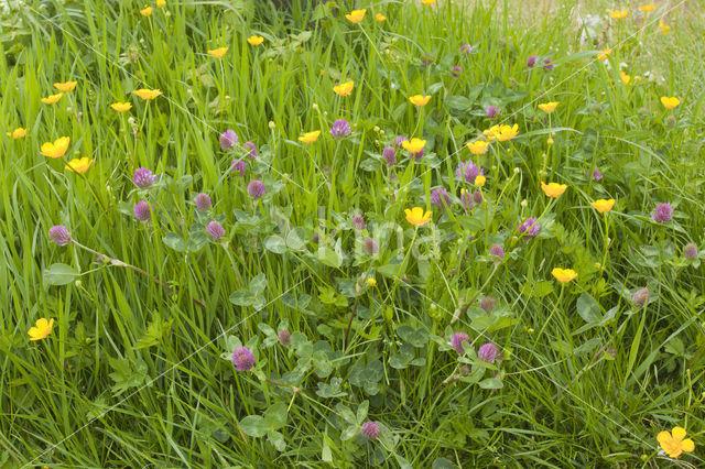 Boterbloem (Ranunculus)