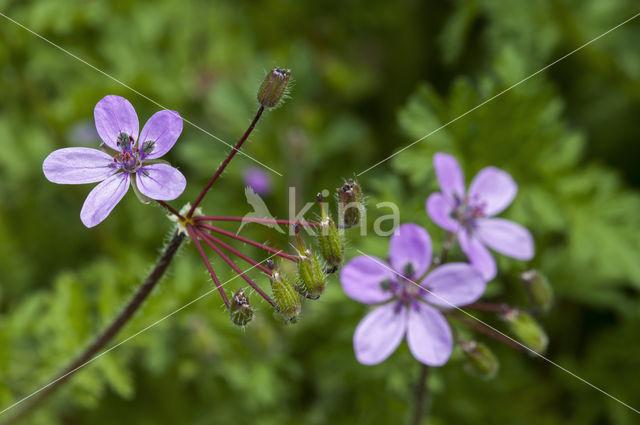 Gewone reigersbek (Erodium cicutarium)