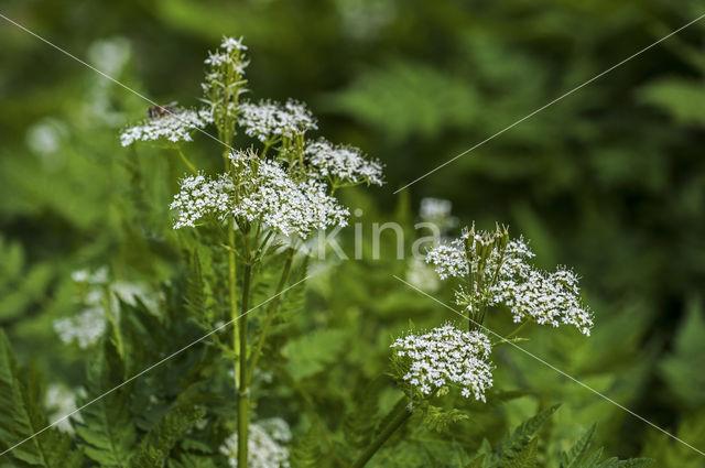 Roomse kervel (Myrrhis odorata)