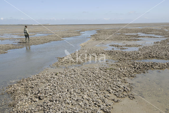 Japanse oester (Crassostrea gigas)