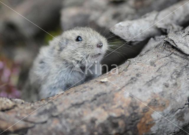 Steppe vole (Lagurus lagurus)