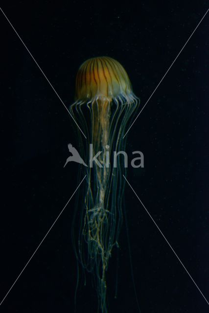 Kompaskwal (Chrysaora hysoscella)