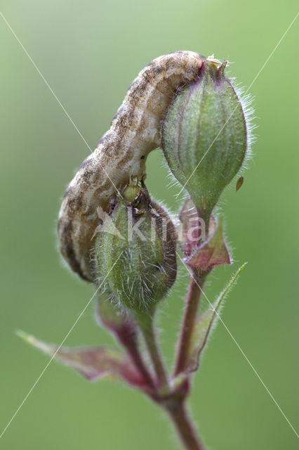 Gewone silene-uil (Hadena bicruris)