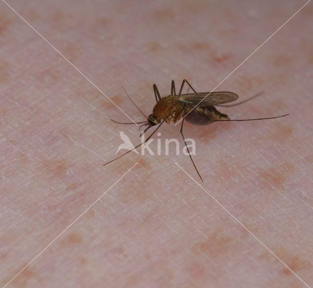 Steekmug (Culex pipiens)