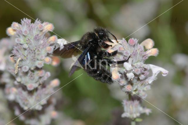 Blauwzwarte Houtbij (Xylocopa violacea)