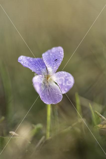 Ruig viooltje (Viola hirta)