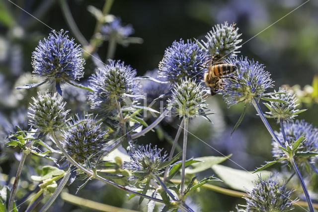 Blauwe kruisdistel (Eryngium planum)