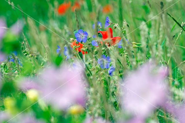 Meadow Crane's-bill (Geranium pratense)