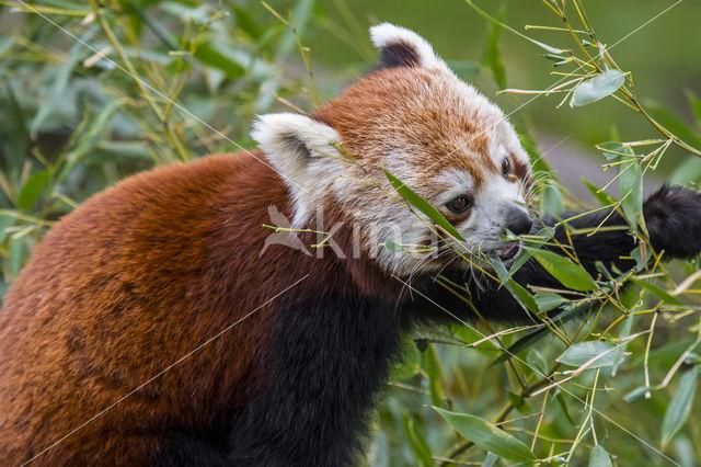 Kleine panda (Ailurus fulgens)