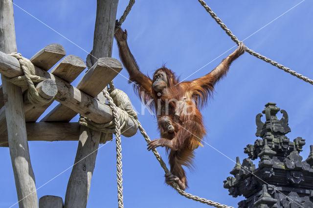 Sumatraanse Orang oetan (Pongo abelii)
