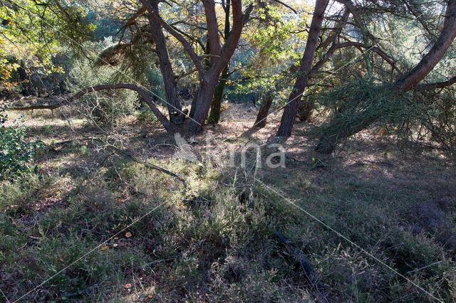 Den (Pinus spec.)