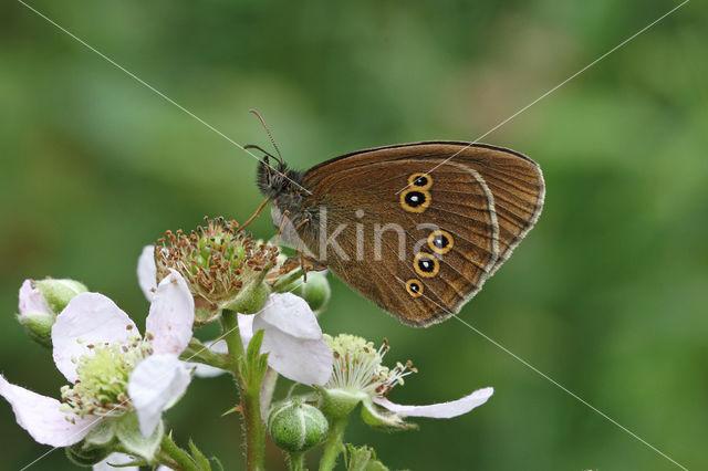 Ringlet (Aphantopus hyperantus)