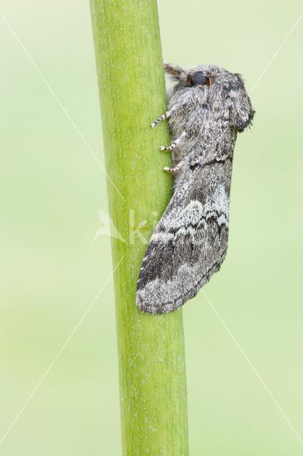 Witlijntandvlinder (Drymonia querna)