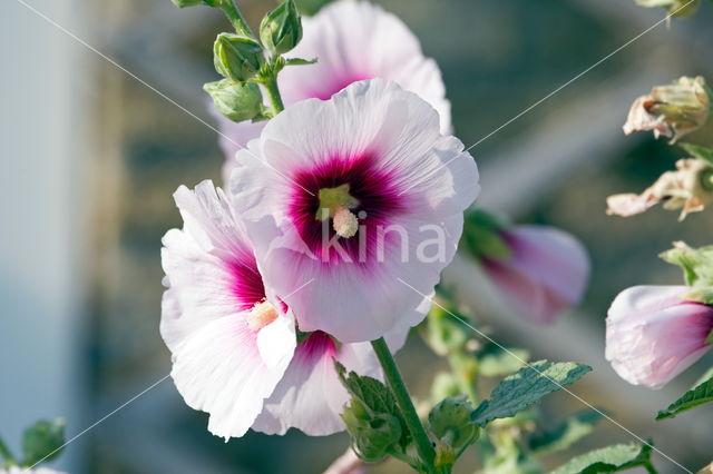 Stokroos (Alcea rosea)