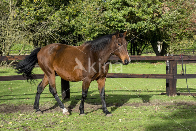 Belgisch Warmbloedpaard (Equus ferus caballus)