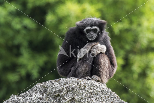 Withandgibbon