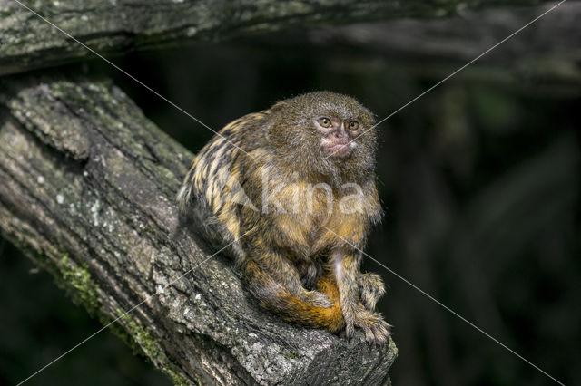 Dwergzijdeaapje (Cebuella pygmaea)