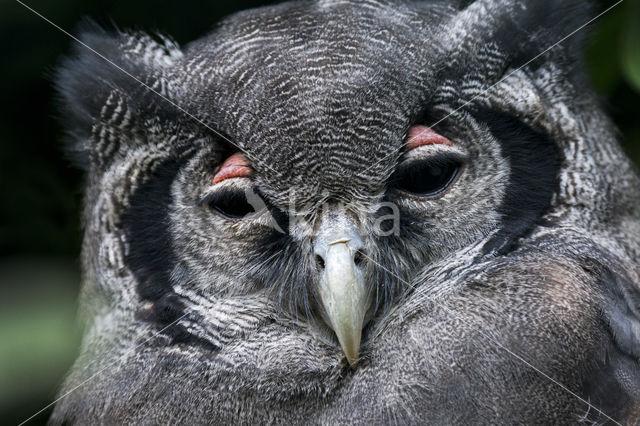 Verraux' oehoe (Bubo lacteus)