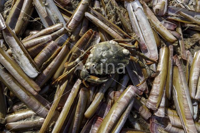 Kleine zwaardschede (Ensis ensis)