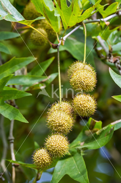 Oosterse plataan (Platanus orientalis)