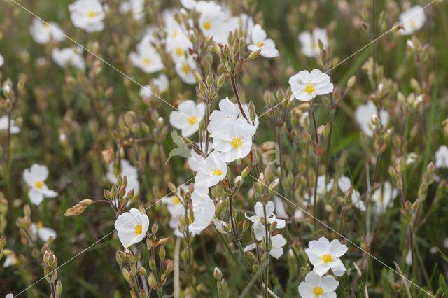 Wit zonneroosje (Helianthemum apenninum)