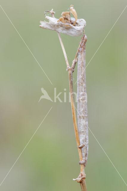 Gele Kustspanner (Semiaspilates ochrearia)