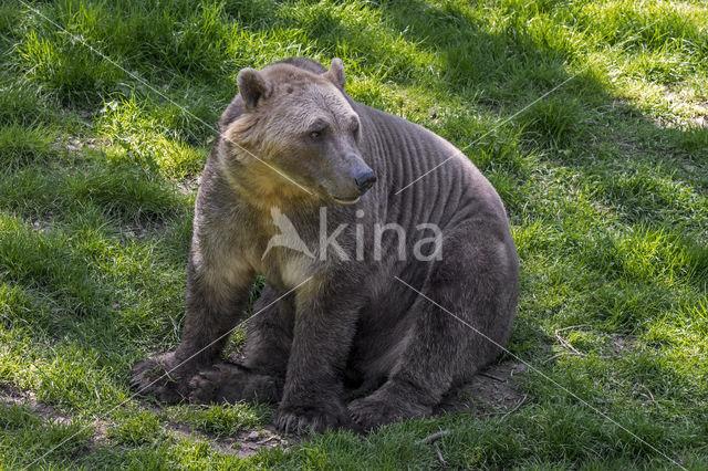 ijsgrizzly (Ursus maritimus × Ursus arctos)