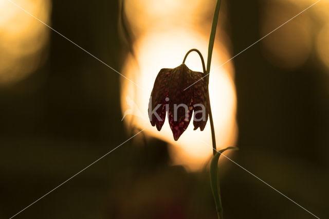 Kievitsbloem (Fritillaria spec)