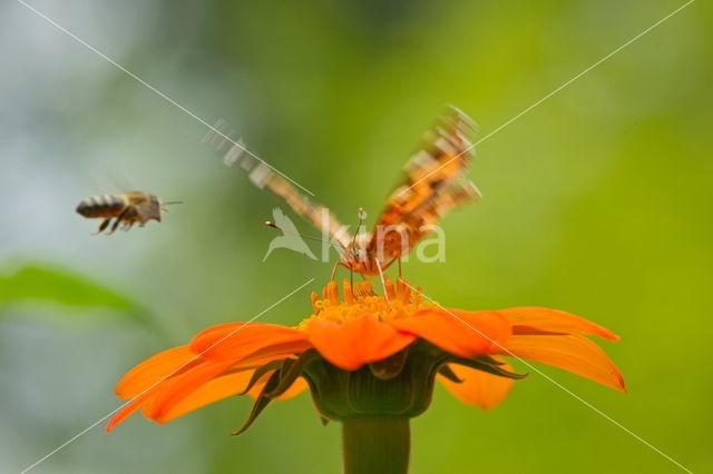 Distelvlinder (Vanessa cardui)