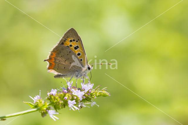 Kleine vuurvlinder (Lycaena phlaeas)