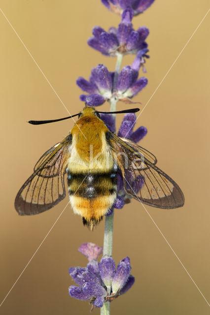 Hommelvlinder (Hemaris tityus)