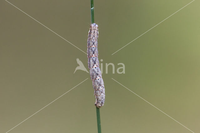 Vierbandspanner (Xanthorhoe ferrugata)