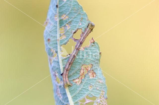 Bruine grijsbandspanner (Cabera exanthemata)