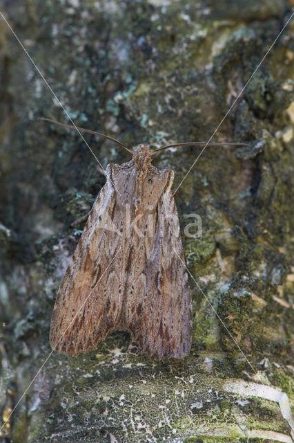 Geelbruine houtuil (Lithophane socia)