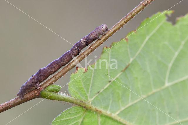 Geelbruine bandspanner (Plagodis pulveraria)