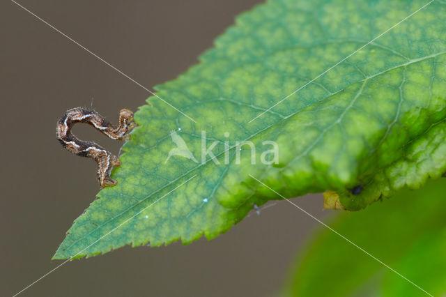 Guldenroededwergspanner (Eupithecia virgaureata)
