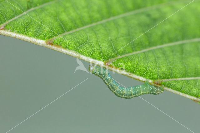 Leverkleurige spanner (Euchoeca nebulata)