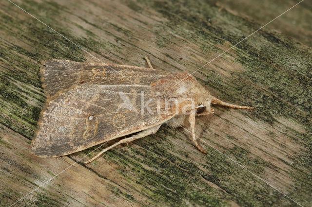 Populierengouduil (Xanthia ocellaris)